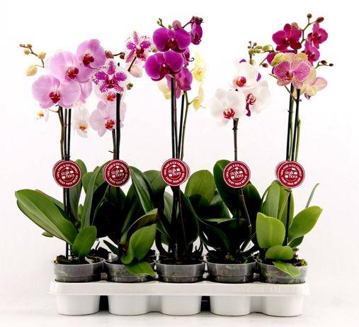 Орхидея фаленопсис оптом - растения из Голландии, Азии, Европы