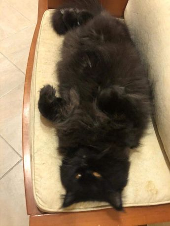 Gato persa para adocao