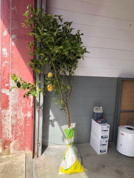 Limoeiros com 5 anos a dar fruto
