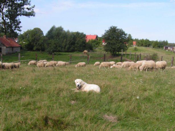 Stado owiec kamienieckich dotacyjnych w zasobach genetycznych