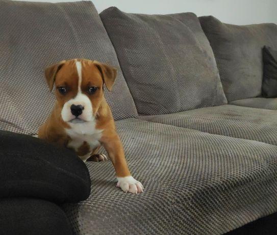 American Stafford terrier