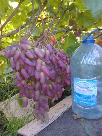 Саженцы винограда столовых и винных сортов