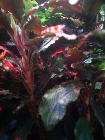 Растения.сомики венисуелла блек