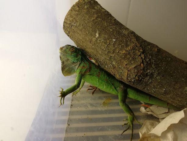 Ігуана зелена, ящірка ігуана