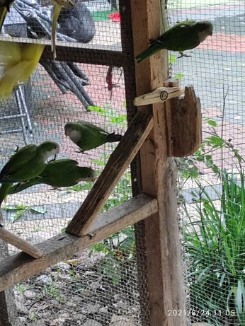 Młode papugi faliste.