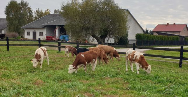 Byczki Odsadki mięsne