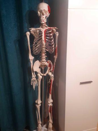 Szkielet czlowieka anatomia biologia
