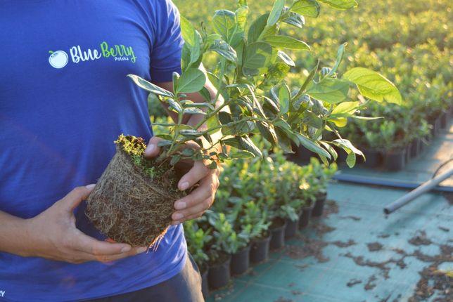 Borówka Amerykańska 3 letnie sadzonki odmiana CHANDLER (CAC)