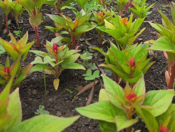 Crista-de-galo – Celosia cristata