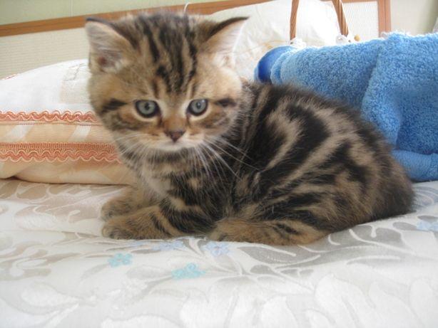 Котята породы скоттиш страйт / шотландская прямоухая