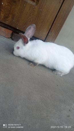 Продаються кролі самці