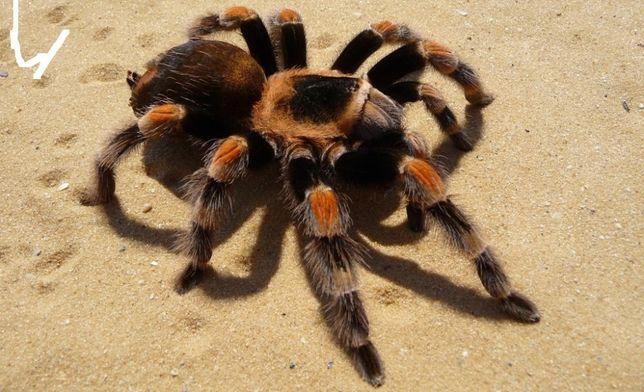 паук птицеед новичку брахипельма смити brachypelma smithi павук