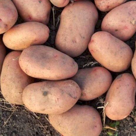 Картопля Рів'єра велика, біля роса велика, картопля насінева