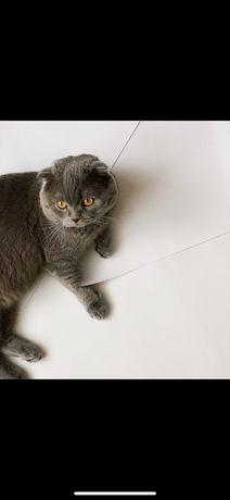 В'язка шотландський висловухий кіт