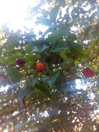 Vendo árvores Pitanga