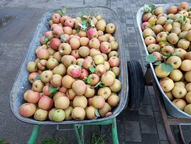 Jabłka Złota Reneta ekologiczne