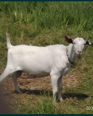 Зааненко-нубийский козёл приглашает на покрытие!!!