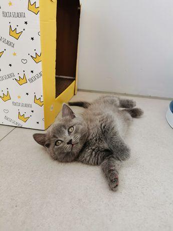 Kot Brytyjski kotki kocurki niebieskie i biały gotowe do odbioru