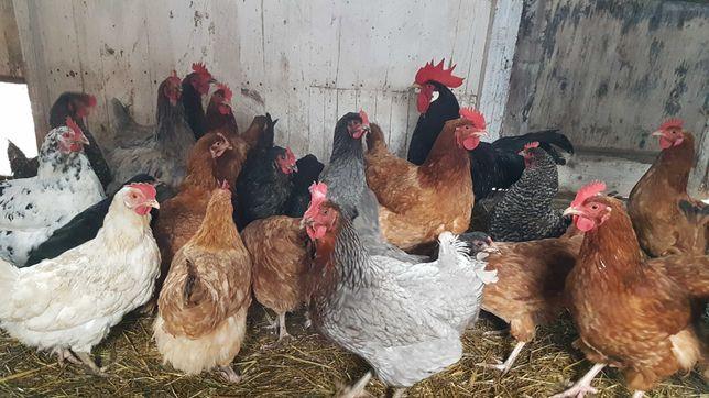 Jajka z własnego gospodarstwa, z wolnego wybiegu