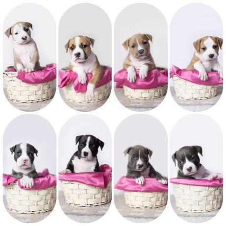 American Staffordshire Terrier/ Amstaff / ZKwP / FCI