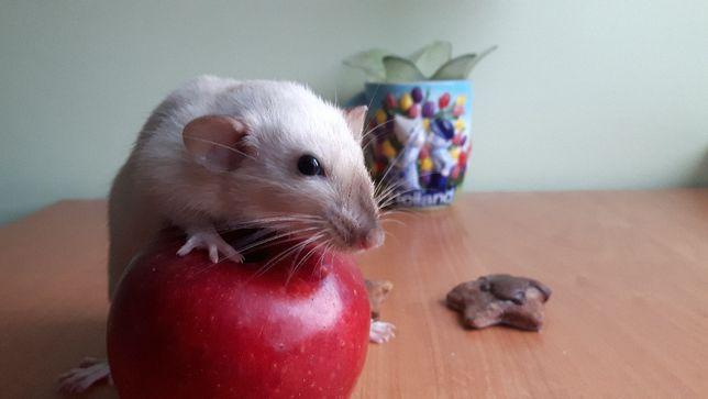 Szczury Szczurki DUMBO SIAMESE syjamskie