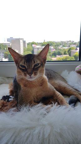 Абиссинский кот, стерилизован