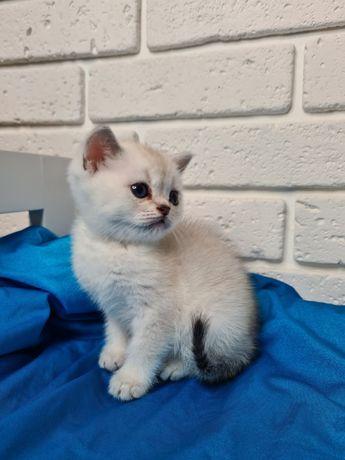 Продаются котята Скотиш Страйт и Скотишь Фолд.