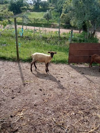 Vendo Ovelha suffolk