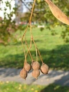 Nasiona lipy drobnolistnej