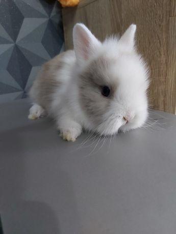 Królik króliczek teddy