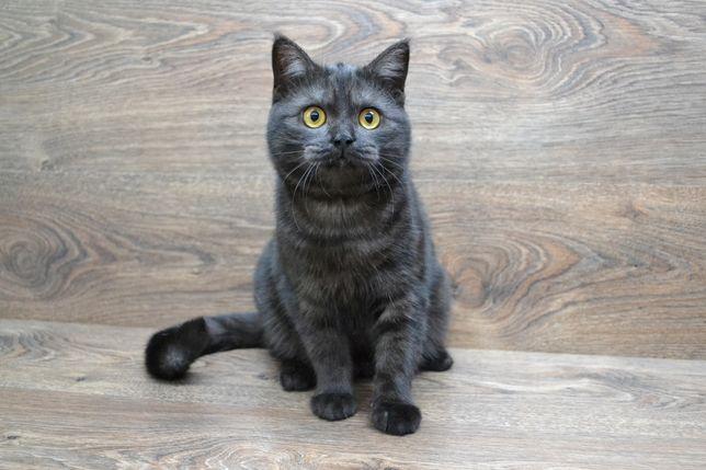 Кошечка, скоттиш страйт, чёрная дымная. Котята шотландские