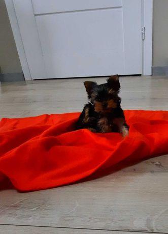 Mini sunia  York  yorkshire terrier