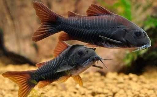 Kirys kirysek czarny corydoras black