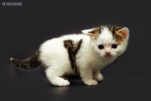Чистокровный шотландский котик Джордж