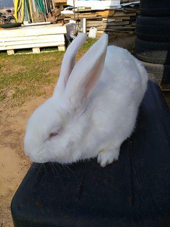 Sprzedam królika kotną samice