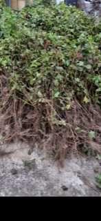 Sadzonki porzeczki czarnej odmiany Tisel