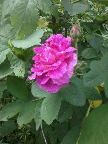 Саженцы крымской чайной розы !