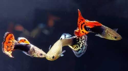 rezerwacja! Oddam rybki akwariowe - molinezje, mieczyki gupiki.