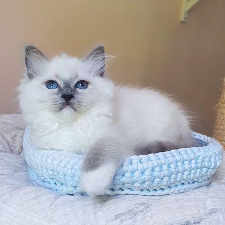 Blue mitted Ragdoll kotka z Kocich Salonów