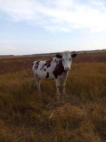 Продам говядину быка