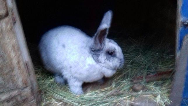 Продам кроликов серебро ев ропейское