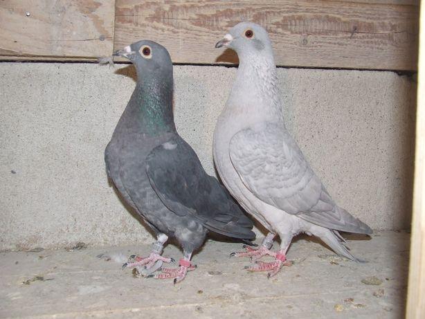 Gołąbki Dziadka Mariana nr 3 - gołębie pocztowe ozdobne