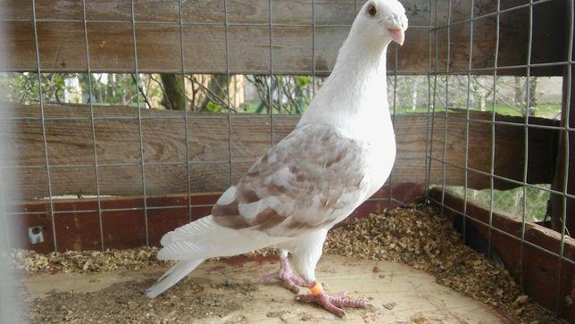 Śląskie tarczowe samiec (gołębie)
