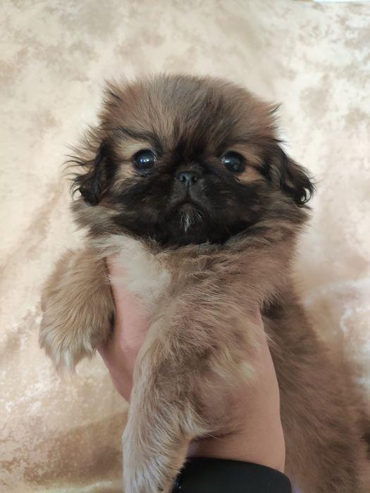 Продам щенков пекинеса Запорожье - изображение 1