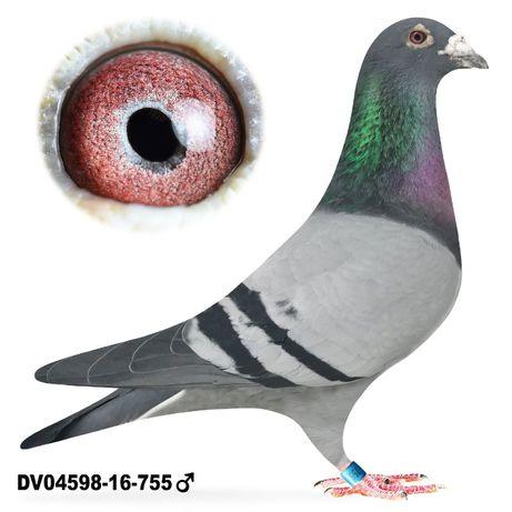 Młode 2021 Para 33 W. Ringeler x Rottmann gołąb gołębie pocztowe