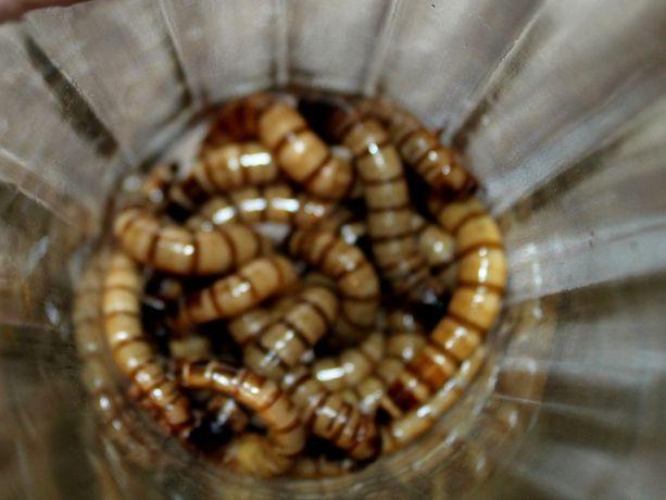 Личинки жука чернотёлки. Зофобас.