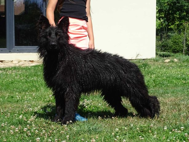 Czarny pies,owczarek niemiecki