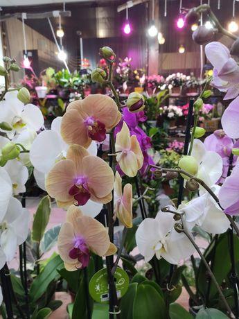 Орхидеи в наличии. Большой выбор