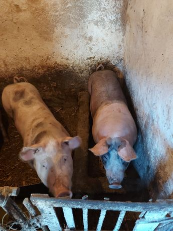 Свині жива вага приблизно 60-80 кг