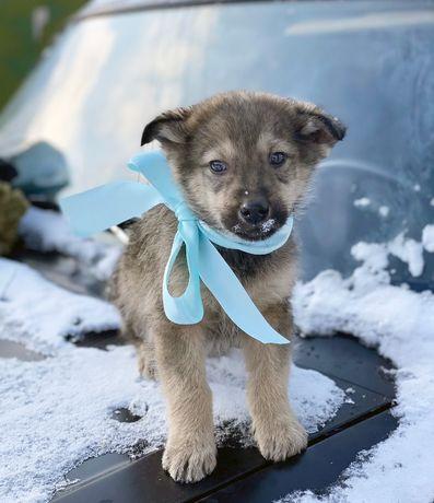 Чудный красавчик маленький щеночек в поиске дома и семьи, щенки щенок